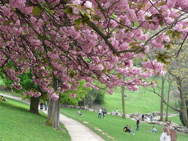 cerisier parc des buttes chaumont